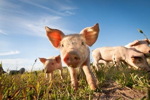 African-swine-fever